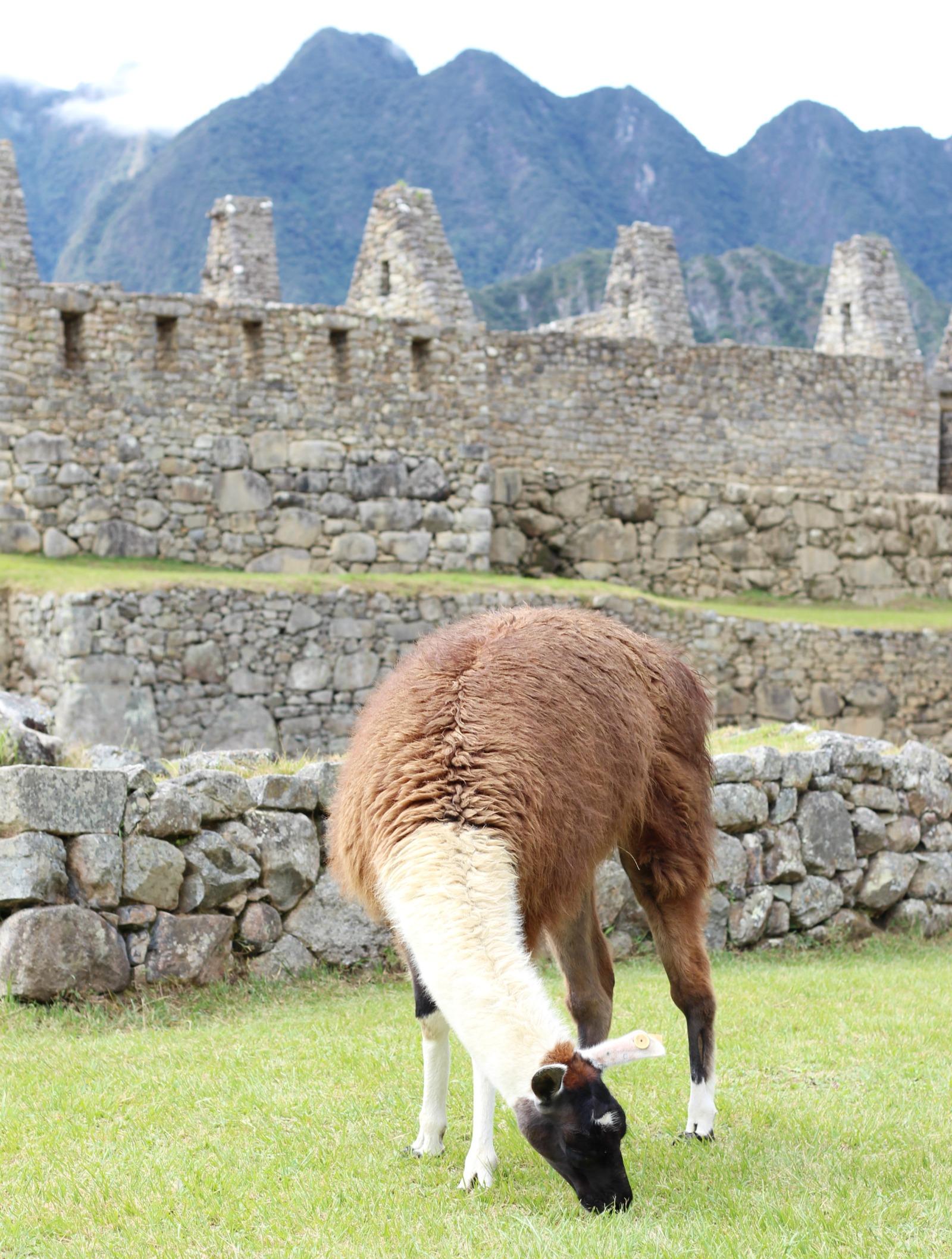 macchu-picchu-alpaca